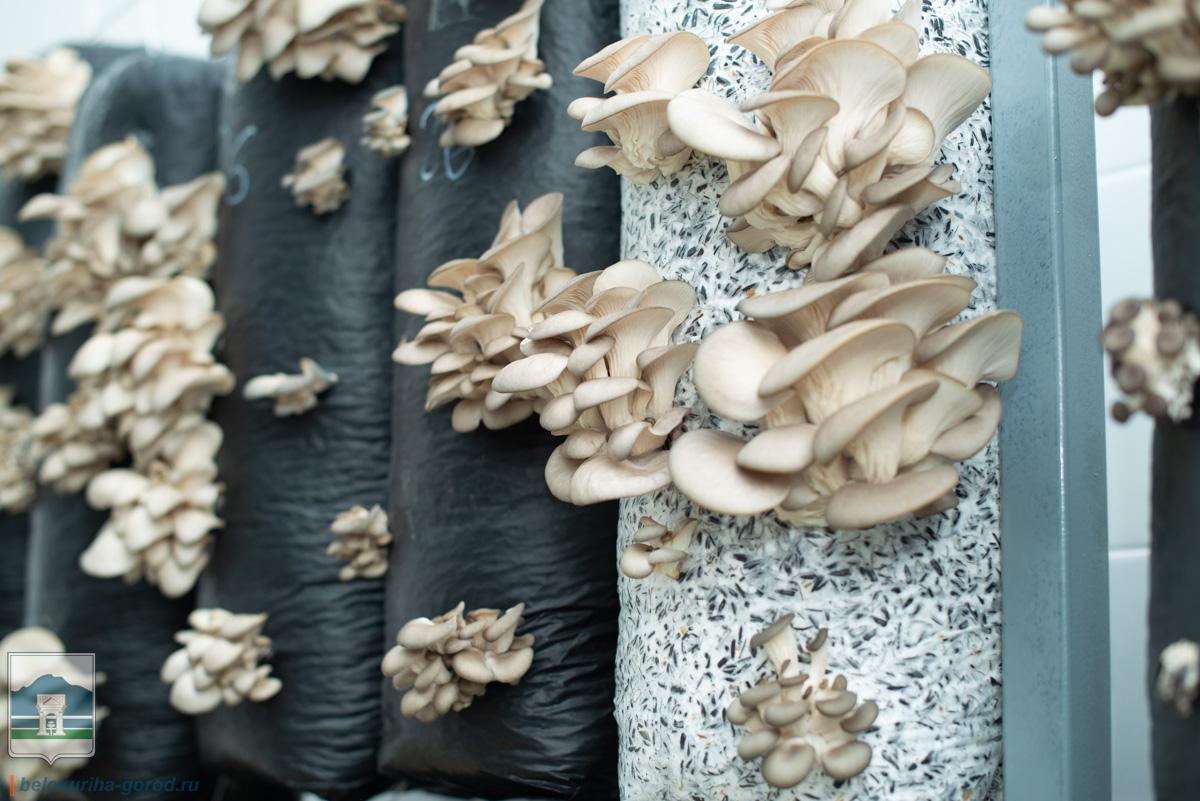 Ферма по производству грибов вешенок открылась под Белокурихой